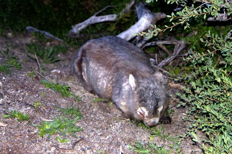 Wilson Wombat