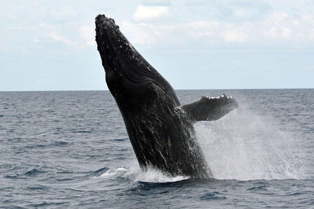 humpback-whale-1126290_1920